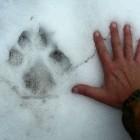 Stopa vlka obecného